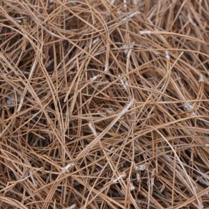 Slash Pine Straw